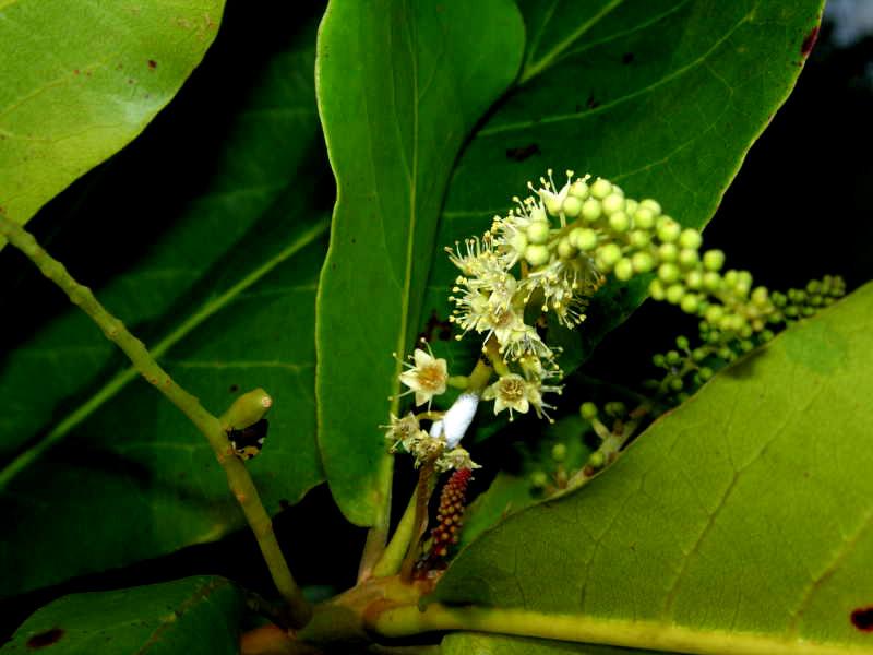 seemandelbaum terminalia catappa pflanzen samen bl tter stecklinge. Black Bedroom Furniture Sets. Home Design Ideas